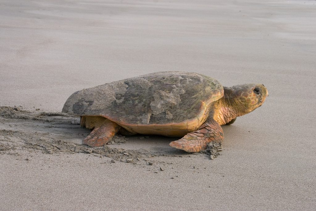 It's Loggerhead Sea Turtle Nesting Season Here at Holden Beach