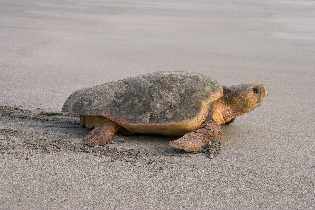 It's Loggerhead Sea Turtle Nesting Season Here at Holden Beach